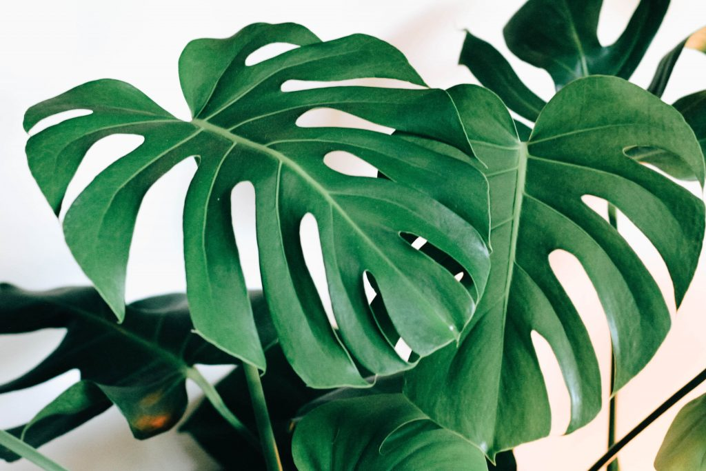 Monstera Plant-Best Indoor Plant to Purify Air | Camella Manors