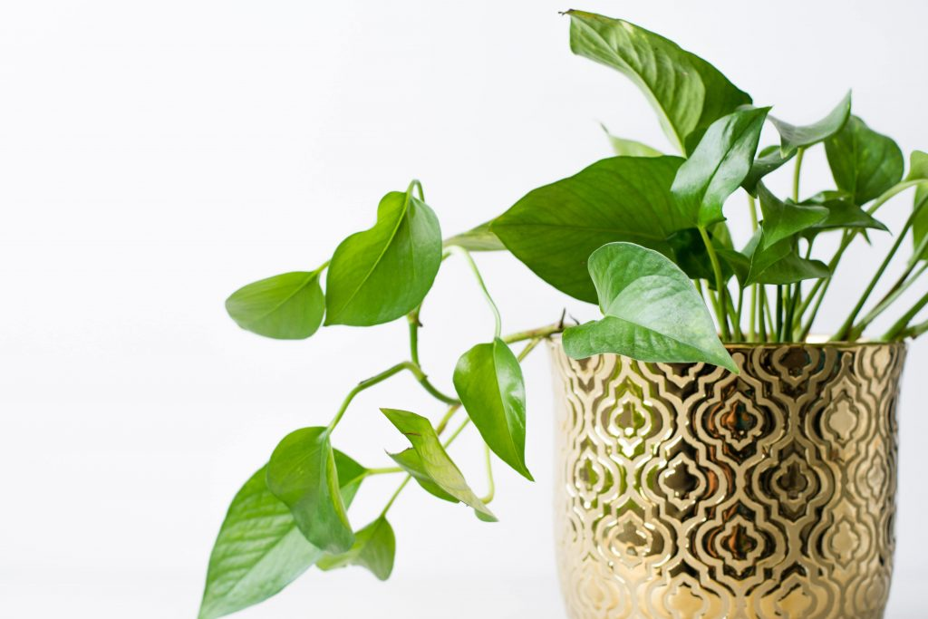 Pothos - Best Indoor Plant to Purify Air | Camella Manors