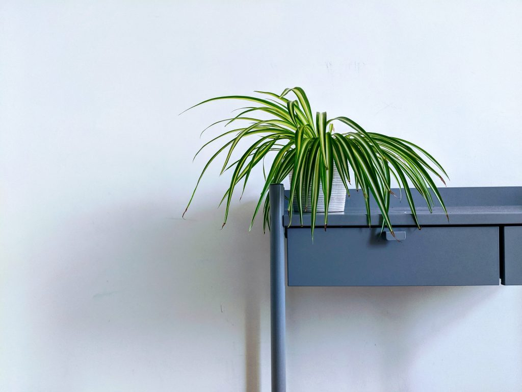 Spider Plant-Best Indoor Plant to Purify Air | Camella Manors